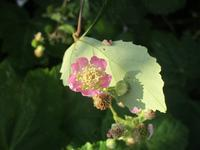 花から実へのブラックベリー & 黄色い絨毯 & タイサンボクの花 - フランス Bons vivants des marais