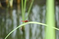 蓮華寺池公園の赤蜻蛉赤とんぼ - 蓮華寺池の隣5