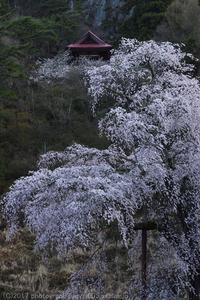 高山村 赤和観音のしだれ桜 - photograph3