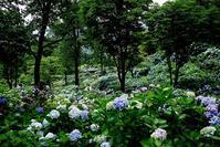 おたくさ・・・舞鶴自然文化園のアジサイ園 - 朽木小川より 「itiのデジカメ日記」 高島市の奥山・針畑郷からフォトエッセイ