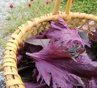 紫蘇を摘む… - 侘助つれづれ