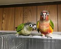 ウロコインコの鳥かご出陣式 - お店のインコたち