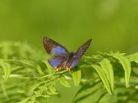 キマダラルリツバメ   福島遠征二日目 - 蝶のいる風景blog