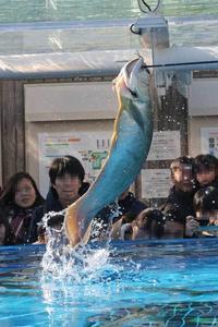 サンシャイン水族館:アロワナ&ドラドJUMP!!~お散歩カワウソ「ハク」 - 続々・動物園ありマス。