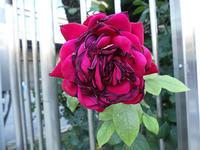 先週資生堂に薔薇を見に行きました。 - 写真で楽しんでます!