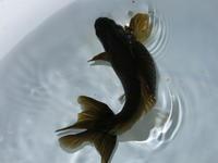金魚サマーセール!!第二弾 - フルタニ金魚倶楽部blog