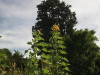 """ブルーベリーの防鳥対策 - 〔家庭菜園日記〕 """"すろーらいふ"""" 茅ケ崎のはまちゃん. 野菜つくり"""