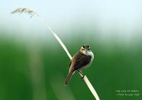 コヨシキリのど自慢大会 - THE LIFE OF BIRDS ー 野鳥つれづれ記