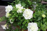 ペチュニアがきれいに咲いてます - ひだまりの庭 ~ヒネモスノタリ~