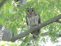 フクロウ - 『彩の国ピンボケ野鳥写真館』