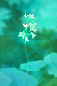 ヤワタソウ - 光 塗人 の デジタル フォト グラフィック アート (DIGITAL PHOTOGRAPHIC ARTWORKS)