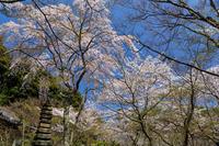 桜咲く京都2018 西行桜咲く勝持寺 - 花景色-K.W.C. PhotoBlog
