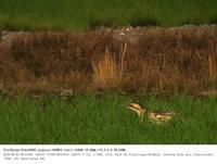 印旛沼北部調整池 2018.6.2(1) - 鳥撮り遊び