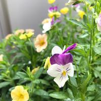 ビオラに学ぶ、花の旬 - 植物と、コーヒーと。
