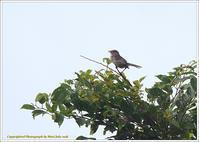 ウグイス みすぼらしい姿 - 野鳥の素顔 <野鳥と・・・他、日々の出来事>