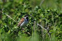 緑の中の オオジュリン - 野鳥公園