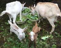 子ヤギも順調に育ってます - 蔵カフェ「飯島茶寮」