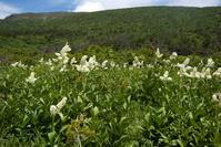 コバイケイソウ - オバサンが行く ヒマラヤの青いけしの旅/改め   時々蔵王の花たち