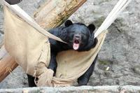 ツキノワグマは椅子に座ったか!?(多摩動物公園) - 続々・動物園ありマス。