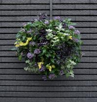 薄紫のペンタスのハンギング - ヒバリのつぶやき