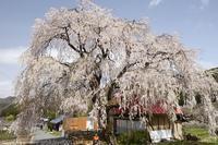 高山村 中塩のしだれ桜 - photograph3