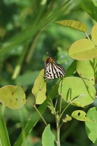 キマダラルリツバメ♂のテリ張と♀の佇み - 蝶超天国
