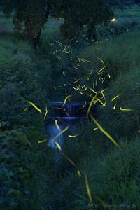 ゲンジボタル 宮城 - 遥かなる月光の旅