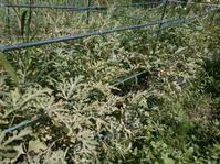 菜園の現状とジャガイモ収穫 - 自然農☆☆☆菜園日記