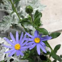 クレマチスや夏の花の寄せ植えづくり♪ワークショップ - Bleu Belle Fleur☆ブルーベルフルール