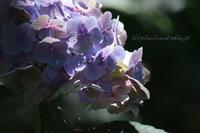 紫陽花に乾杯 - 一瞬をみつめて