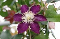 クレマチスが咲いた小さなローズガーデン - 季節の風を追いかけて