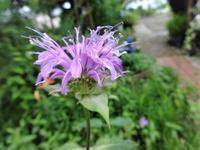 モナルダ - だんご虫の花