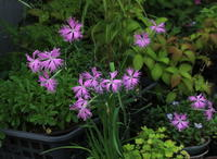 我が家に咲く6月の花その2 - 野山の花たち