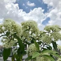 ハーブ・レモンマートルの花 - 緑のしずく (ベランダガーデン便り)