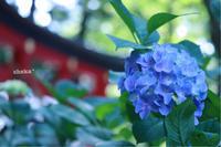 伊佐須美神社の紫陽花 de カメラ女子 - C* 日和
