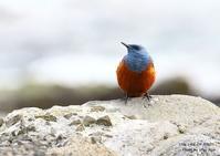 イソヒヨドリの雄には、積丹ブルーが似合う - THE LIFE OF BIRDS ー 野鳥つれづれ記