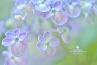 紫陽花が・・・ - お花びより