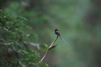 サンコウチョウ - 瑞穂の国の野鳥たち