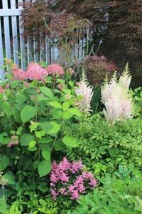 ピンクのアナベルとアスチルベ - ペコリの庭 *
