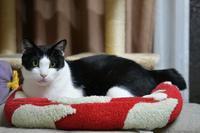 赤いベッドがお似合い - Black Cat Moan