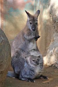 ベネットワラビーの赤ちゃん(江戸川区自然動物園)【前編】 - 続々・動物園ありマス。