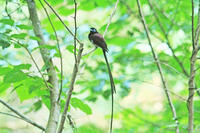 三光鳥 - barbersanの野鳥観察