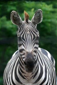 サバンナ園のシマウマっ子 - 動物園放浪記