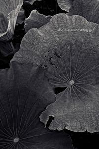 蓮の葉 - A  B  C