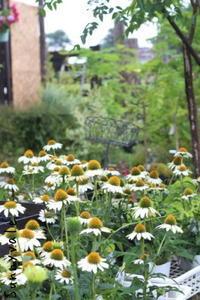 夏の暑さにも強い!庭植え可!のエキナセア - さにべるスタッフblog     -Sunny Day's Garden-