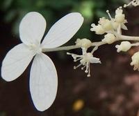 #木の花『糊空木』 Hydrangea paniculata - 自然感察 *nature feeling*