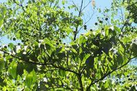 ■木の実 3種 (2)18.7.6(ヤマボウシ、コブシ、オニグルミ) - 舞岡公園の自然2