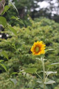 向日葵 - 小さな森のキキとサラ