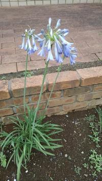 アガパンサス開花 - うちの庭の備忘録 green's garden