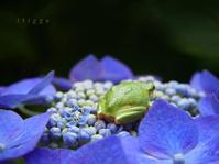 中庭の紫陽花にカエちゃん。 - Photo*Today & Then